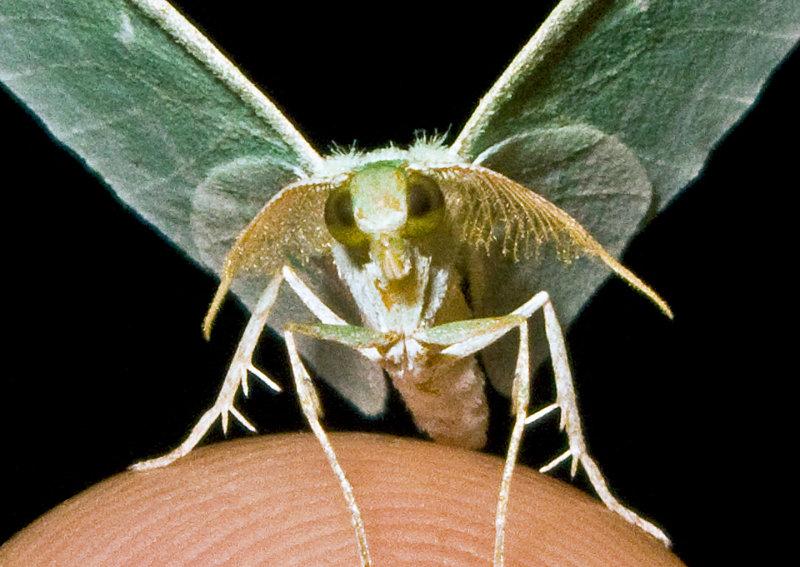 Showy-Emerald-Moth-2