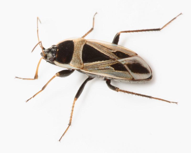 Mediterranean Seed Bug, Xanthochilus saturnius* (Rhyparochromidae)