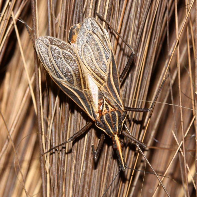 Kissing Bug, Rhodnius barretti n. sp. (Reduviidae: Triatominae)