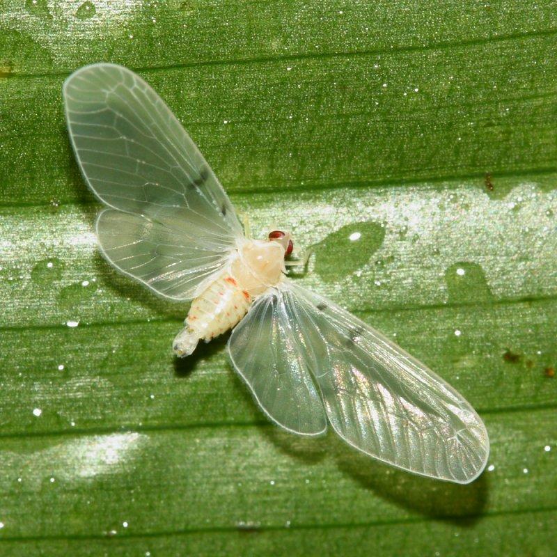 Derbid Planthopper (Derbidae: Mysidini)
