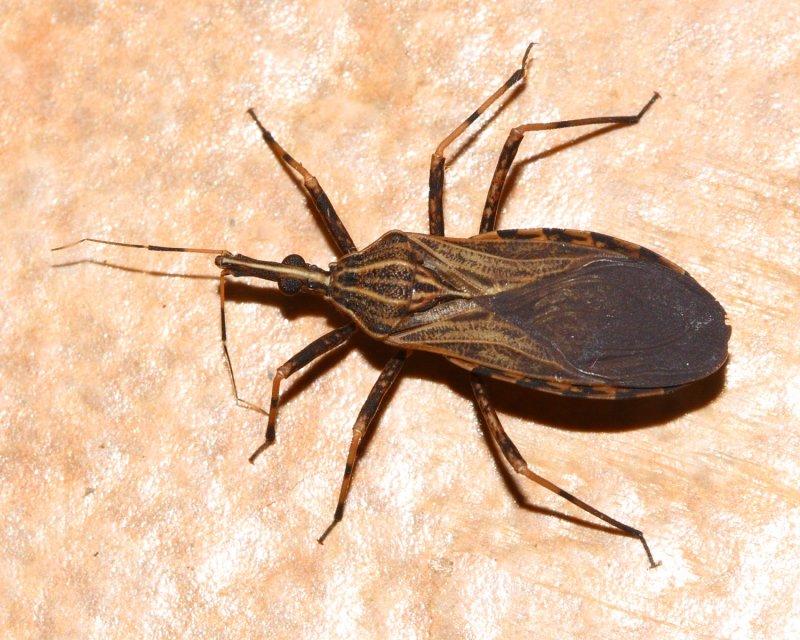 Kissing Bug, Rhodnius pictipes (Reduviidae: Triatominae)