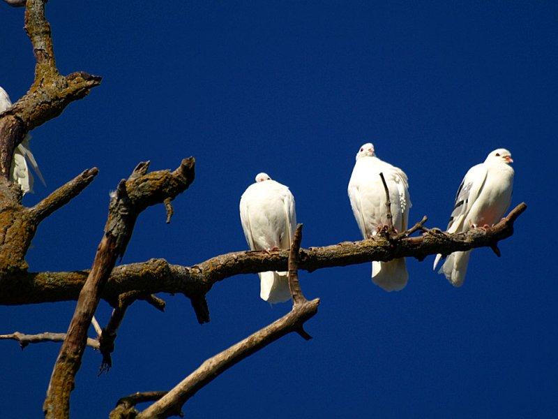 Three White Pigeons.jpg