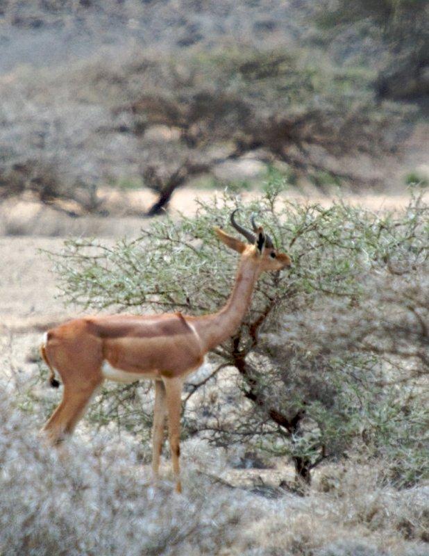 Soemmerrings Gazelle
