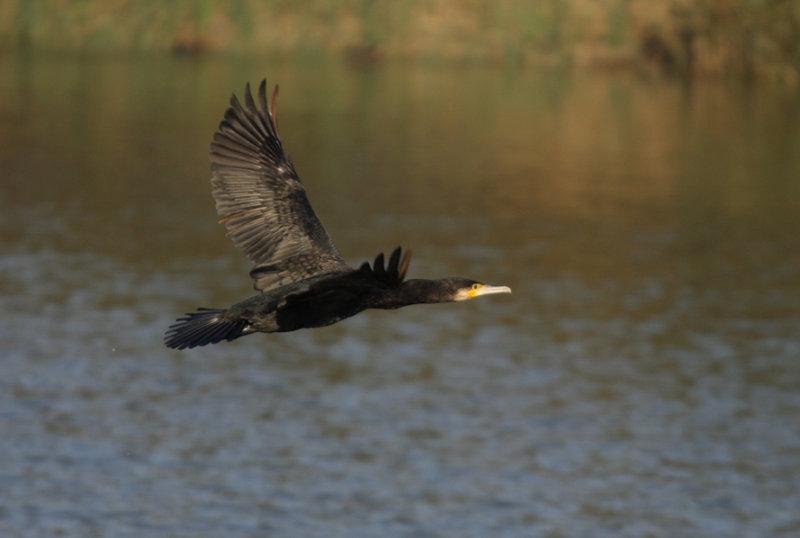 cormorano-E-6673.jpg