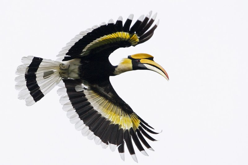 Great Hornbill (male)