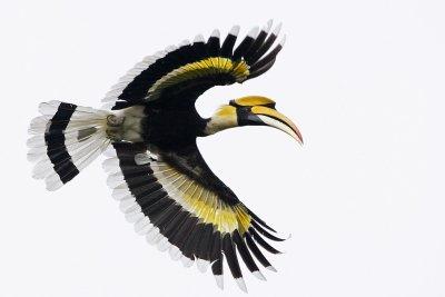 Great Hornbill (male)