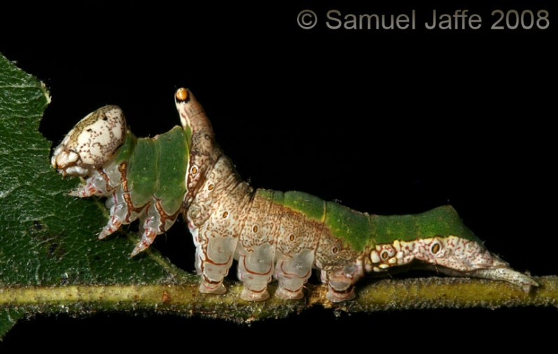 Lace-capped Caterpillar - Leaf Edge