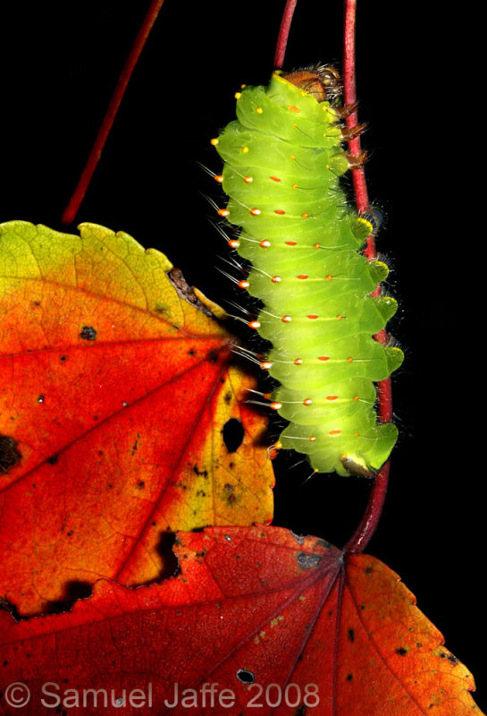 Polyphemus Moth Red Maple