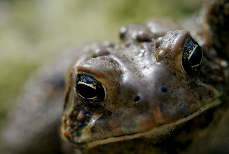 Bufo americanus - American Toad