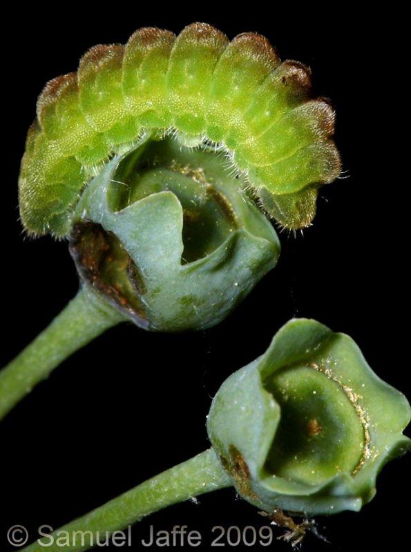 Celastrina ladon ssp Highbush Blueberry - Spring Azure
