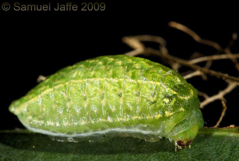 Lithacodes fasciola - Yellow Shouldered Slug