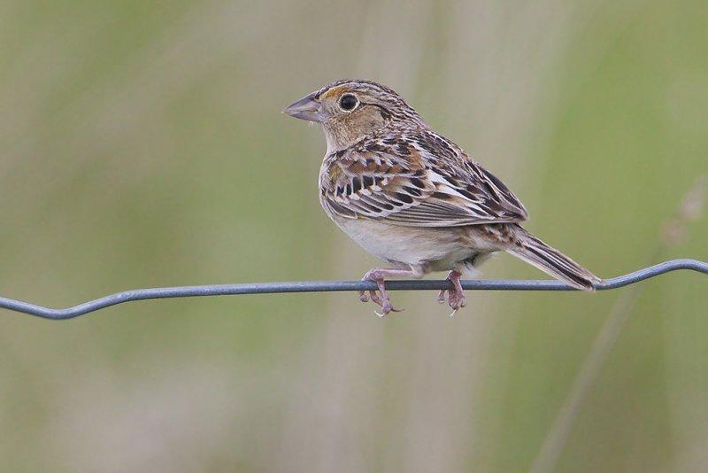 Grasshopper Sparrow32.jpg