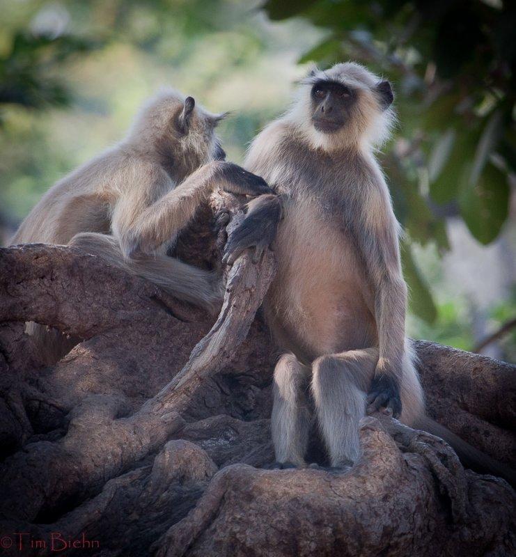 Monkeys of Ranthambhore