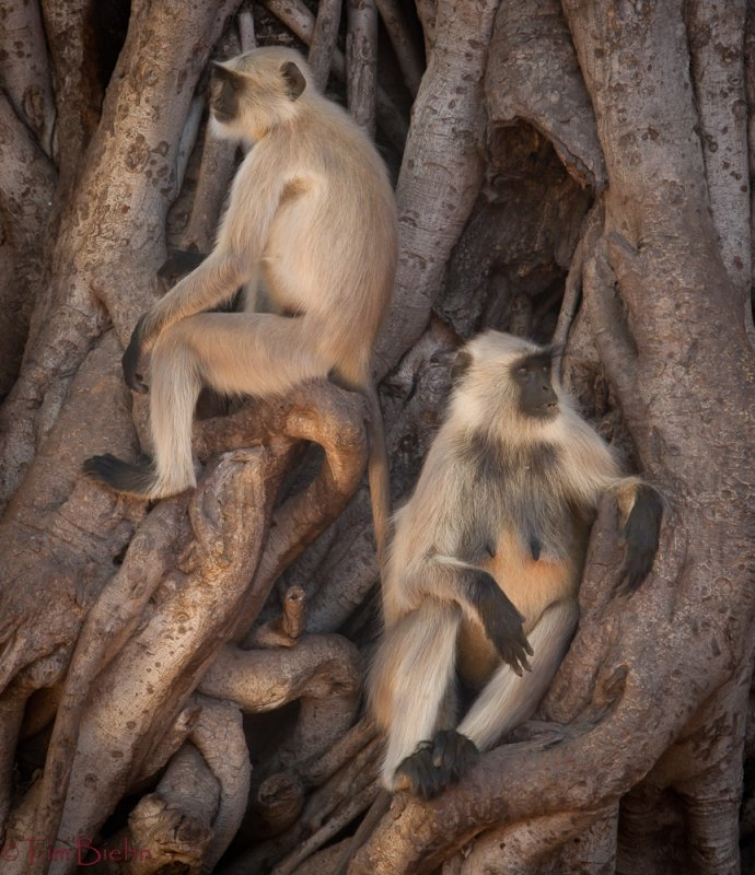 Monkeys of Ranthambhore