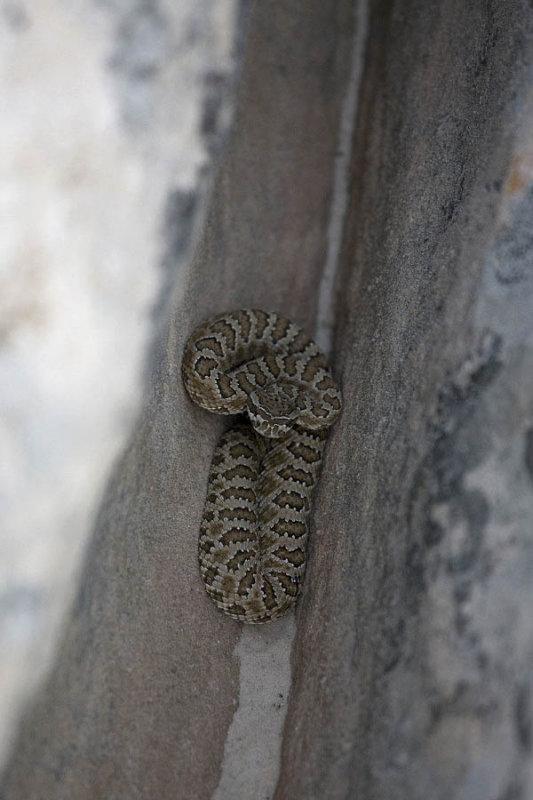 White Pocket, rattle snake