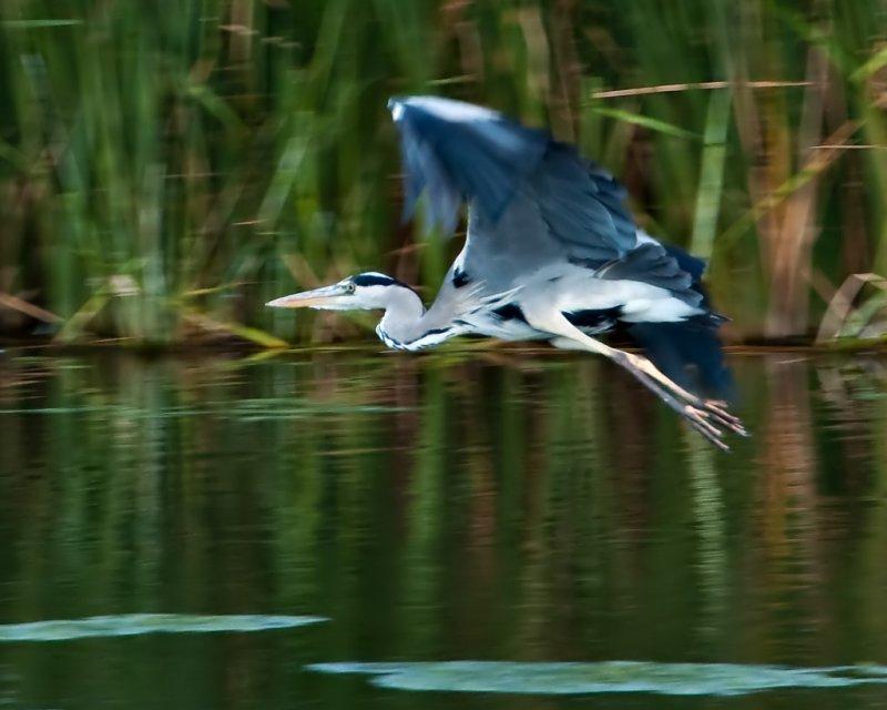 Heron_10622_N-D5k_W1024.jpg