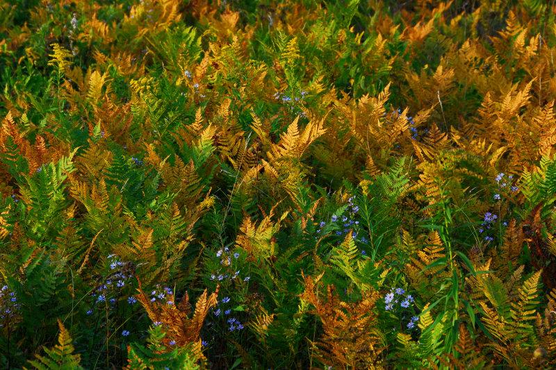 Ferns turning color