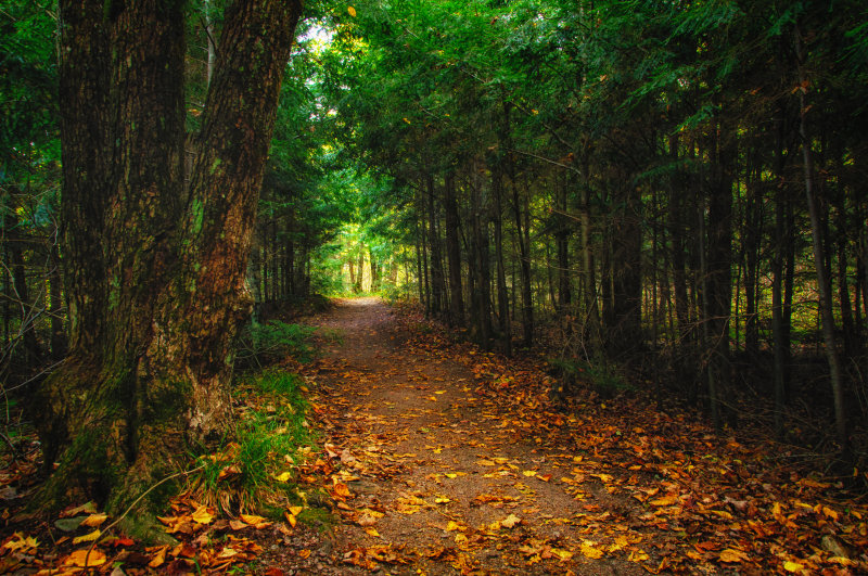 Through some Hemlock trees