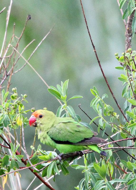 BIRD - LOVEBIRD - BLACK-WINGED LOVEBIRD - BALE MOUNTAINS NATIONAL PARK ETHIOPIA (184).JPG
