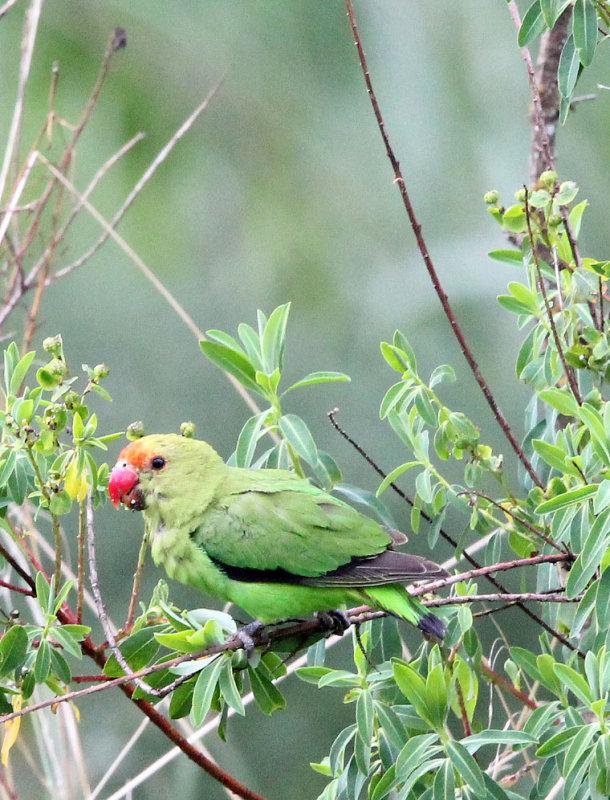 BIRD - LOVEBIRD - BLACK-WINGED LOVEBIRD - BALE MOUNTAINS NATIONAL PARK ETHIOPIA (187).JPG