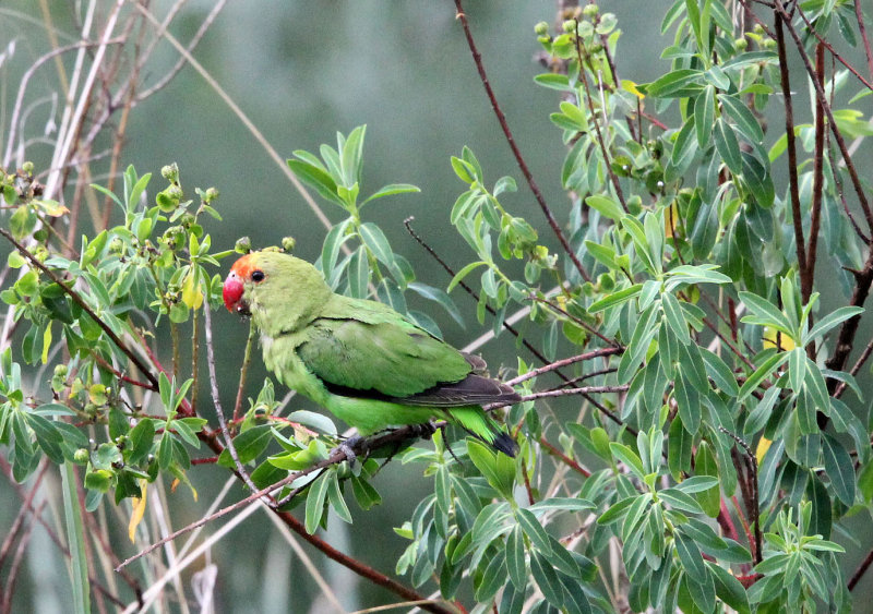 BIRD - LOVEBIRD - BLACK-WINGED LOVEBIRD - BALE MOUNTAINS NATIONAL PARK ETHIOPIA (189).JPG