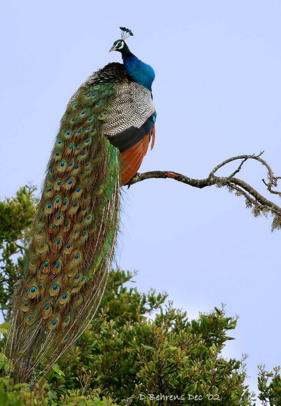 Indian Peafowl strutting.jpg