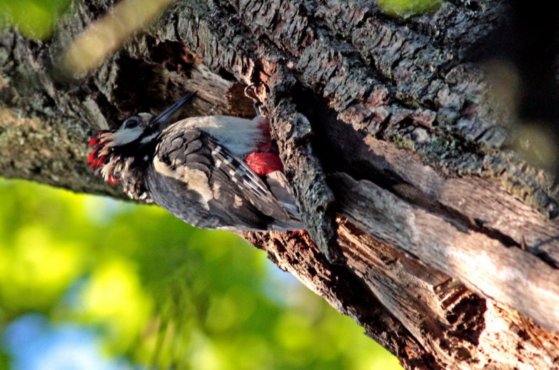 Male Greater Spotted Woodpecker 01