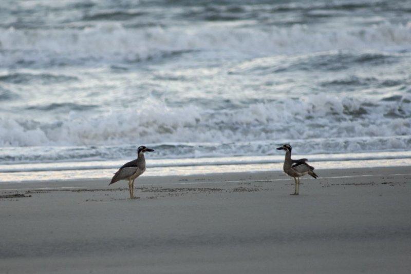 Two Beach Stone-Curlews <i>Esacus neglectus</i> (_DSC0066)