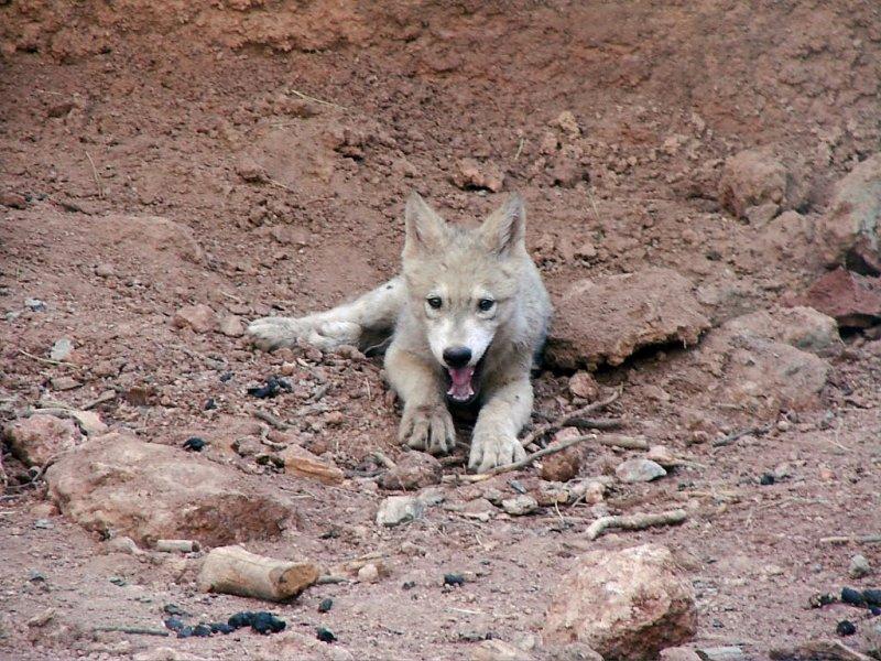 Wolf Cub & Video