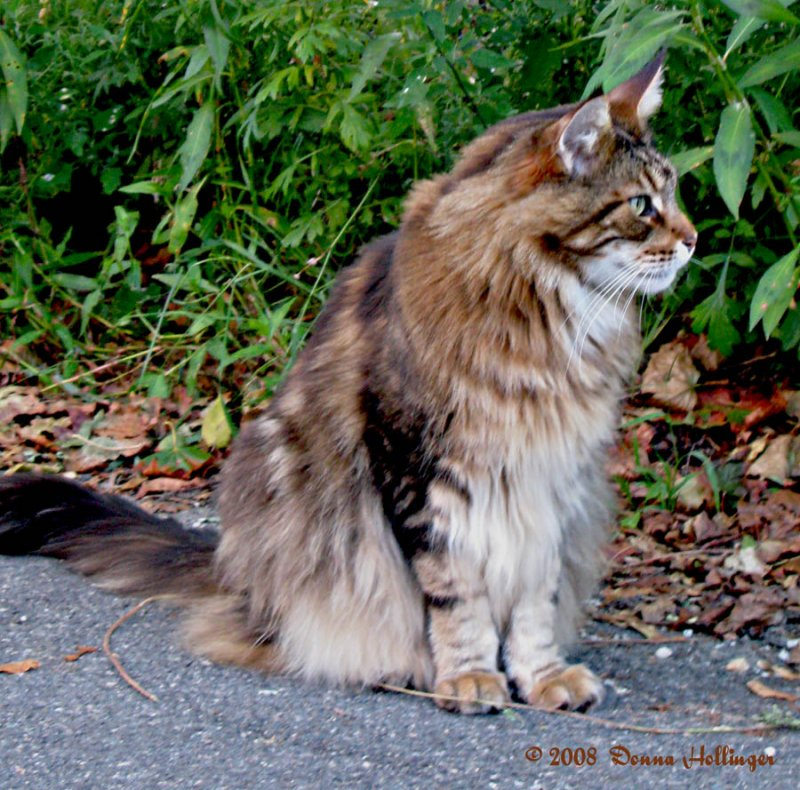 Maine Coon Cat Profile