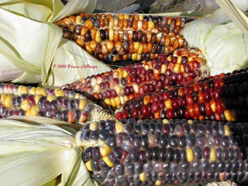I grew Indian Corn One Year