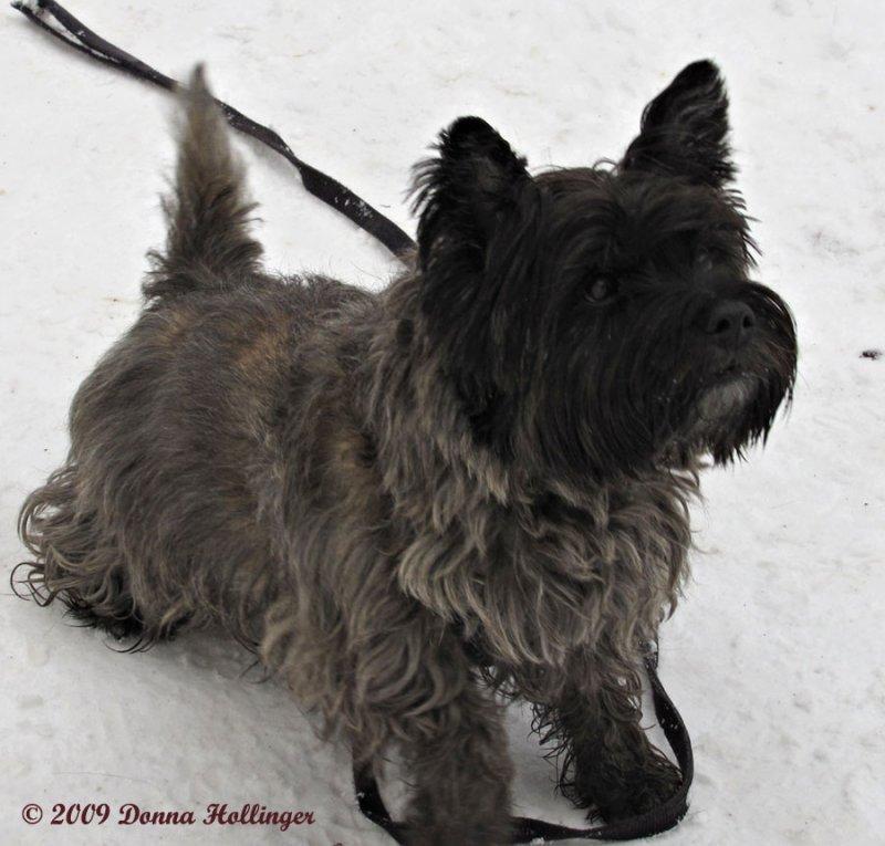 Kathleens Cairns Terrier