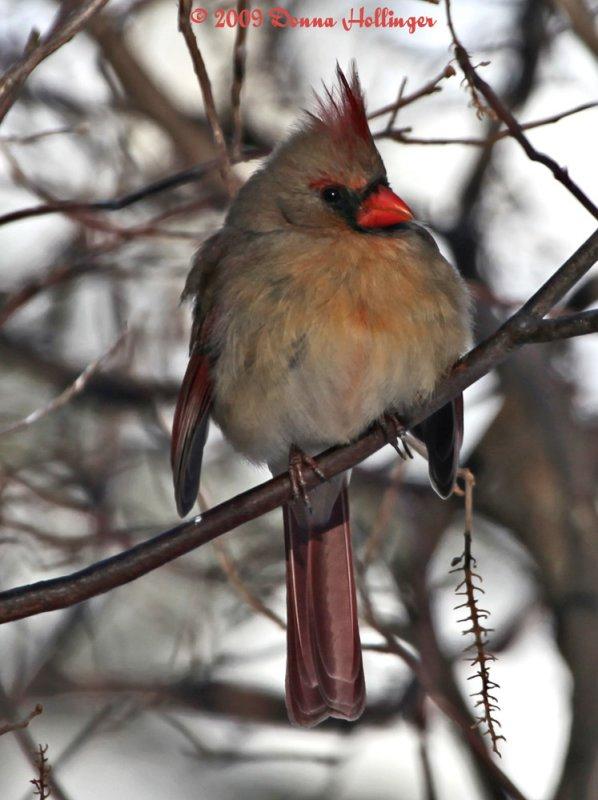 Female Cardinal Profile