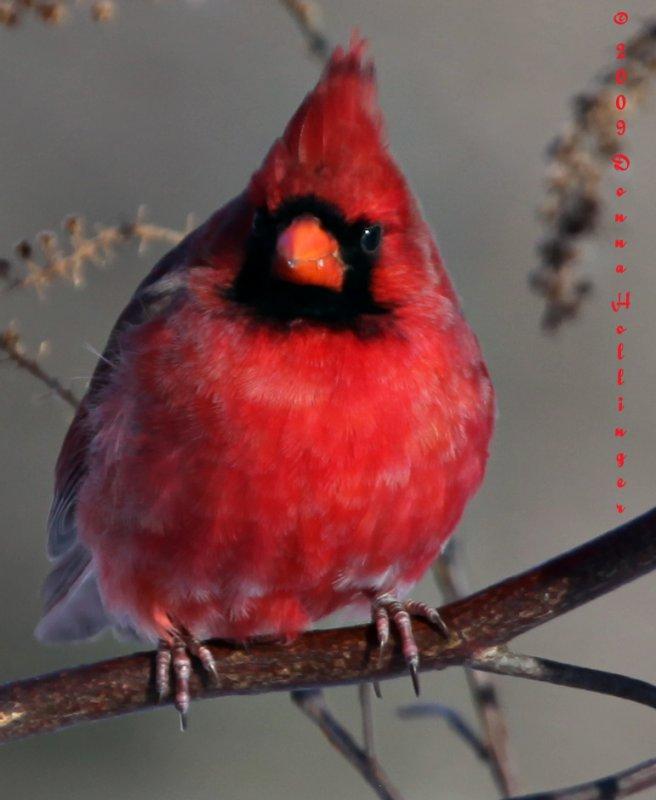 100%CROP of the Cardinal