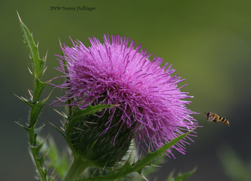 Thistle luring a beefly