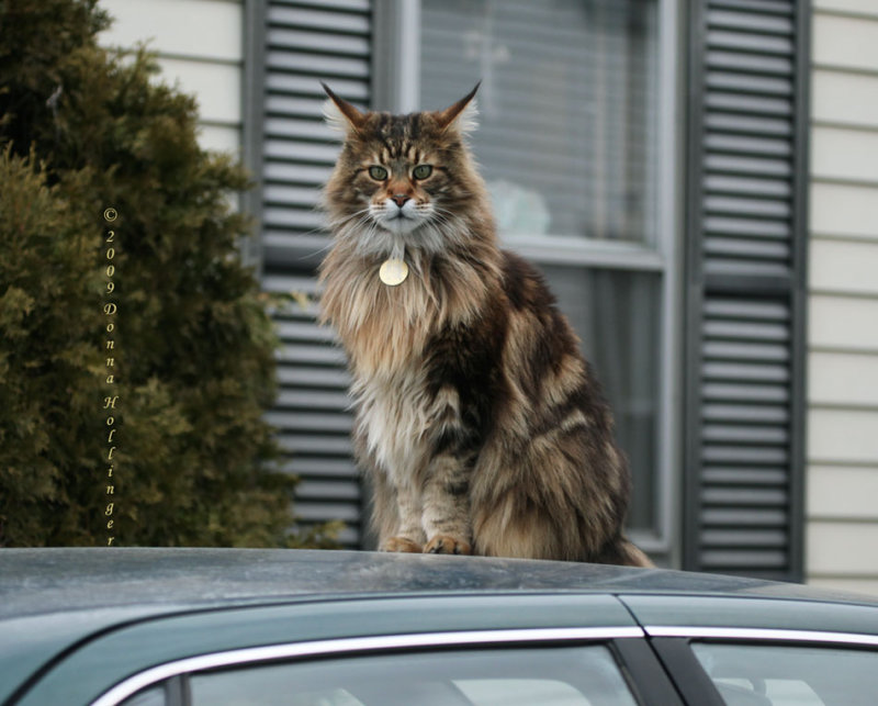 Archies Car and the Maine Coon Cat