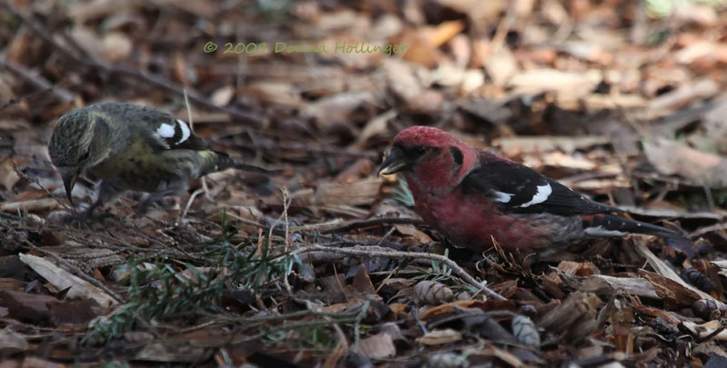 Female and Male Crossbill Feeding