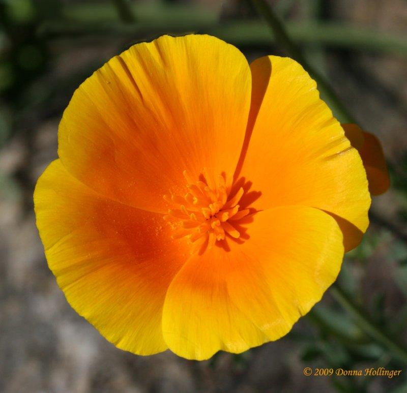 Sunny Golden Poppy