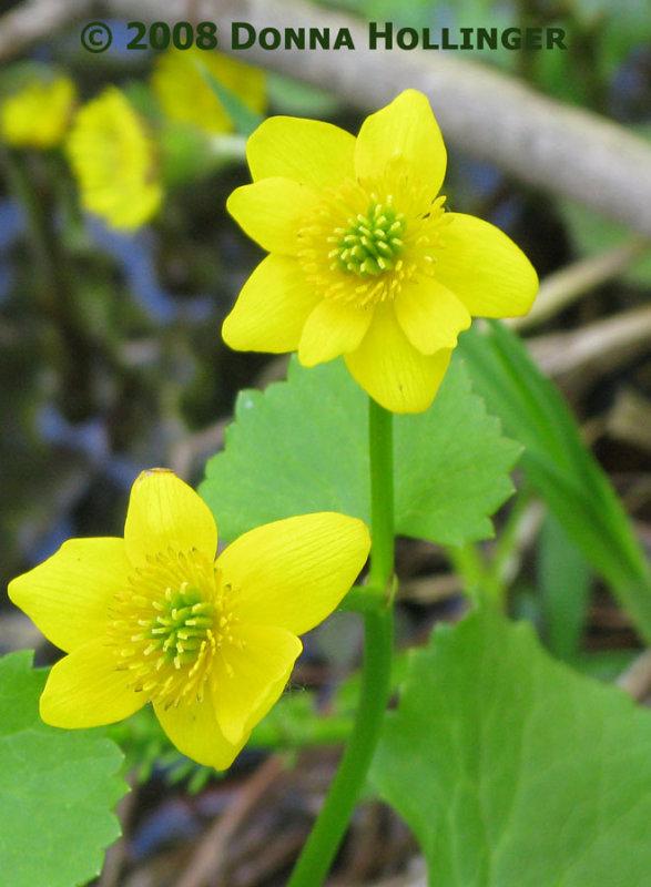 Cheery Marsh Marigolds