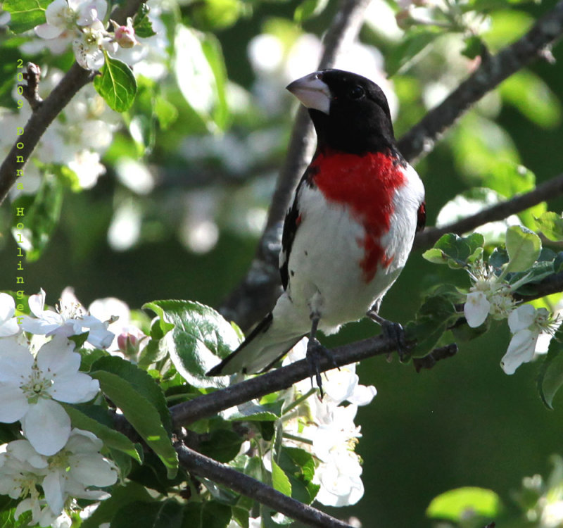 Rose Breasted Grosbeak With Apple Blossoms