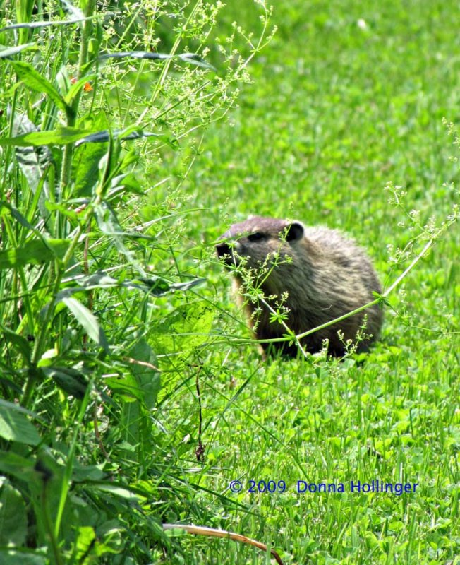 i spied a woodchuck just past the toolshed