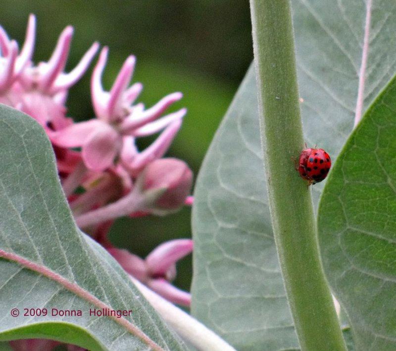 Lady Bugs Mating on Milkweed Stem