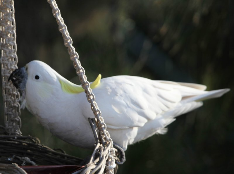 Sulfur Crested Cockatoo Swinging