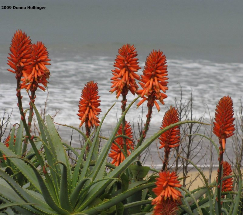 Orange Aloe Flowers