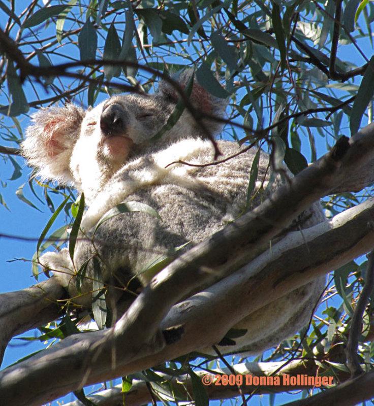 We Finally Saw a Koala!