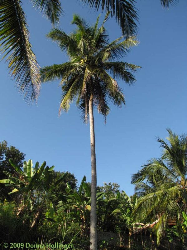 One Coconut Tree at Iskandars Farm