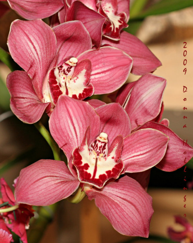 Red and White Cymbidium