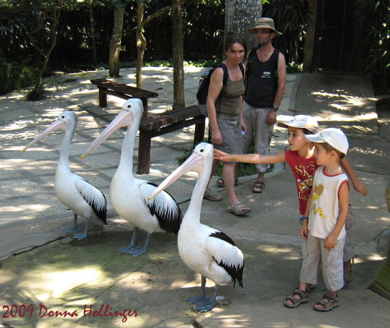 Australian Pelicans almost bigger than the kids