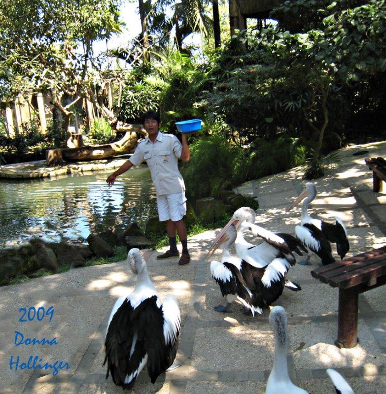 Australian Pelicans and the BirdKeeper