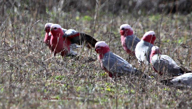 Galahs (parrots) feeding in a flock